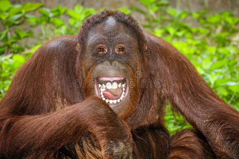 Portrait de rire d'orang-outan (pygmaeus de Pongo) image stock