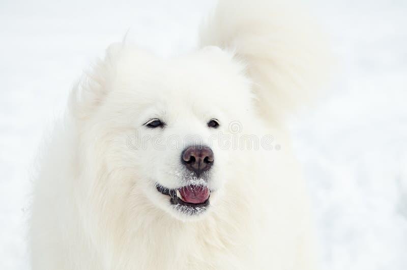 Portrait de Samoyed en hiver image libre de droits