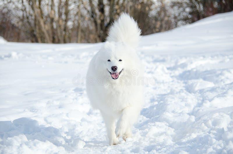 Portrait de Samoyed en hiver photographie stock
