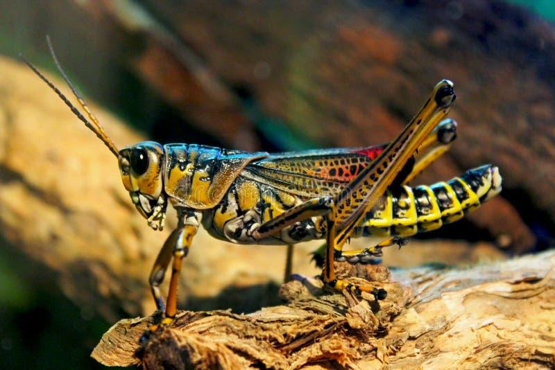 Portrait de sauterelle orientale de lourdaud, sauterelle de lourdaud, microptera de Romalea photos stock