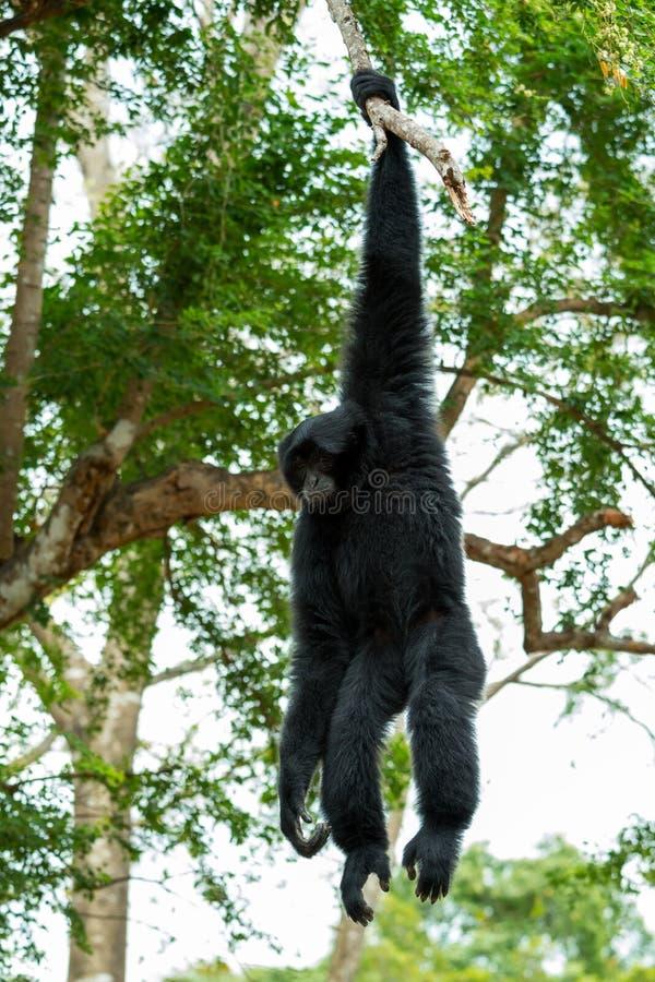 Portrait de Siamnang Gibbon se tenant photos libres de droits