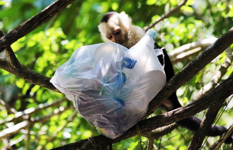 Portrait de singe à tête blanche mignon de capucin avec accrocher de haute qualité de sac de déchets dans la jungle rican de côte photo libre de droits