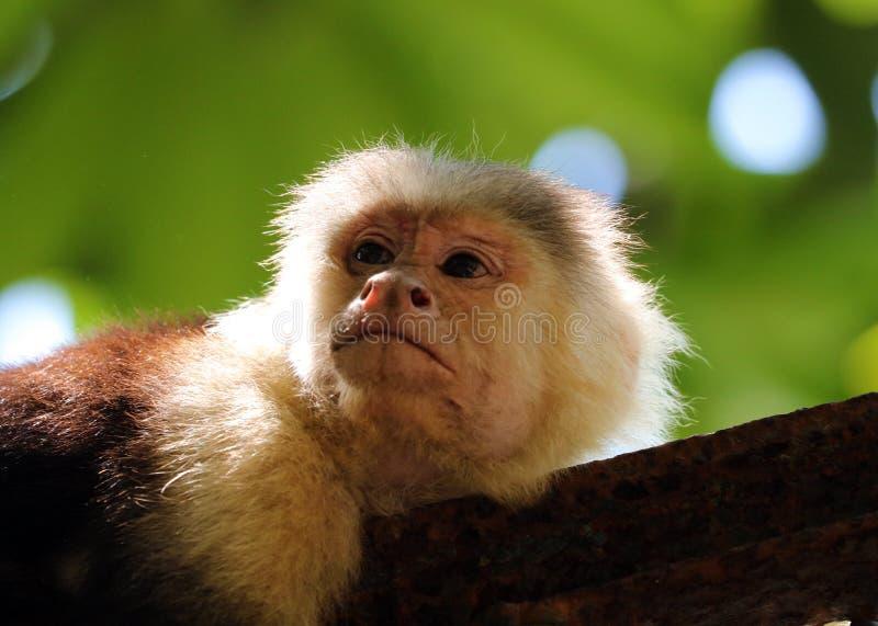 Portrait de singe à tête blanche mignon de capucin dans accrocher de haute qualité dans la jungle rican de côte près de la plage photo stock