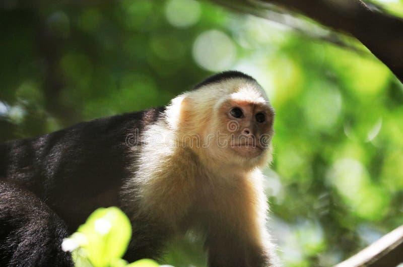 Portrait de singe à tête blanche mignon de capucin dans accrocher de haute qualité dans la jungle rican de côte près de la plage image libre de droits