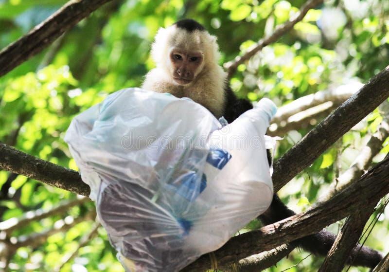 Portrait de singe à tête blanche mignon de capucin dans accrocher de haute qualité dans la jungle rican de côte près de la plage photos libres de droits