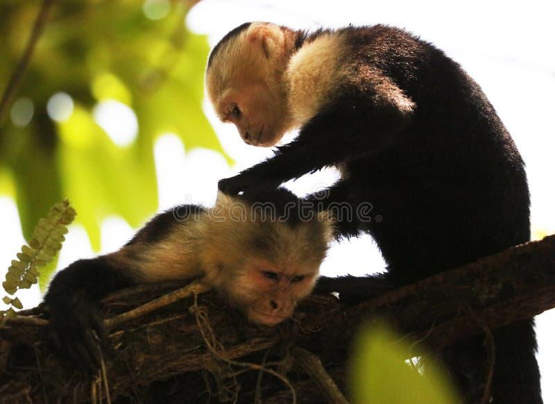 Portrait de singe à tête blanche mignon de capucin dans accrocher de haute qualité dans la jungle rican de côte près de la plage photo libre de droits