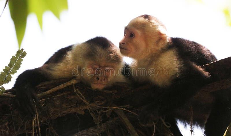 Portrait de singe à tête blanche mignon de capucin dans accrocher de haute qualité dans la jungle rican de côte près de la plage photos stock