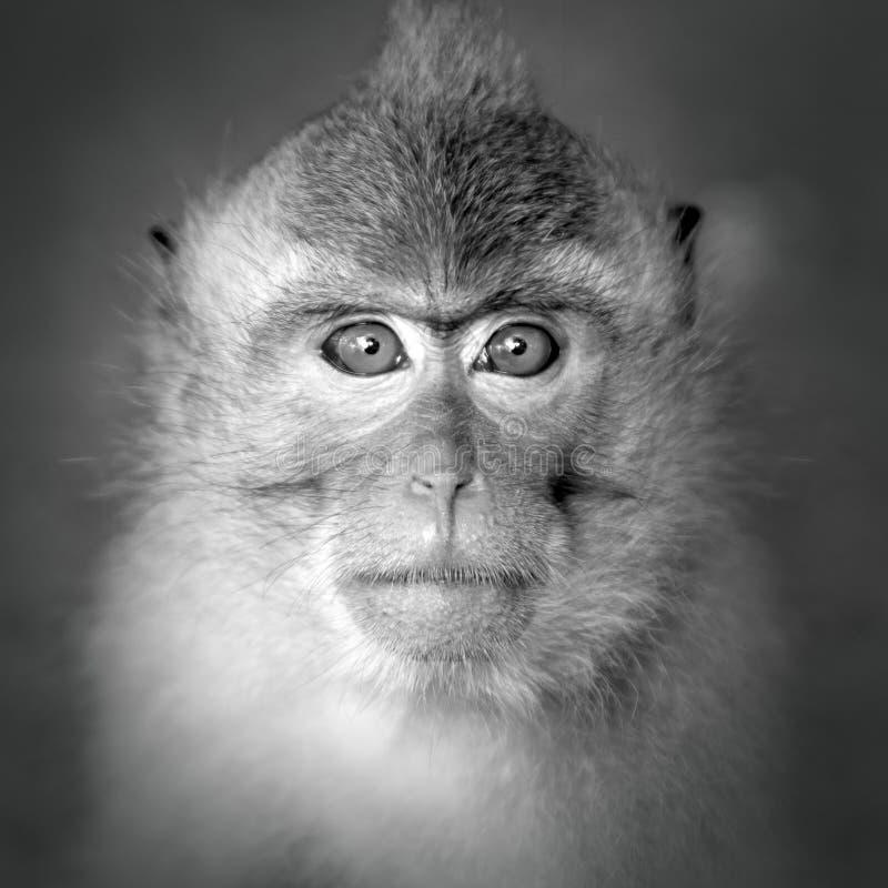 Portrait de singe photo libre de droits