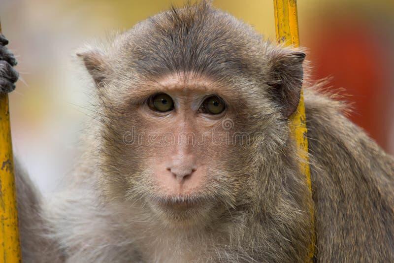 Portrait de singe photos stock