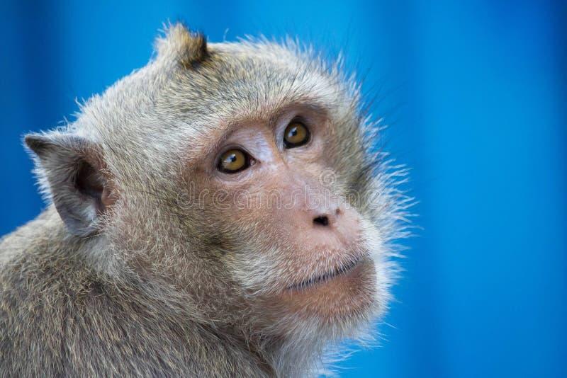 Portrait de singe photographie stock