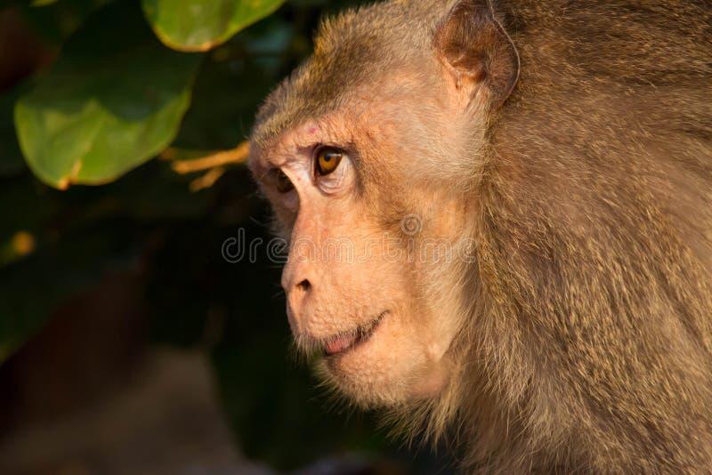 Portrait de singe image stock