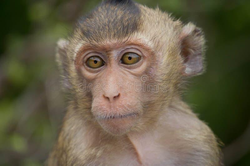 Portrait de singe photographie stock libre de droits