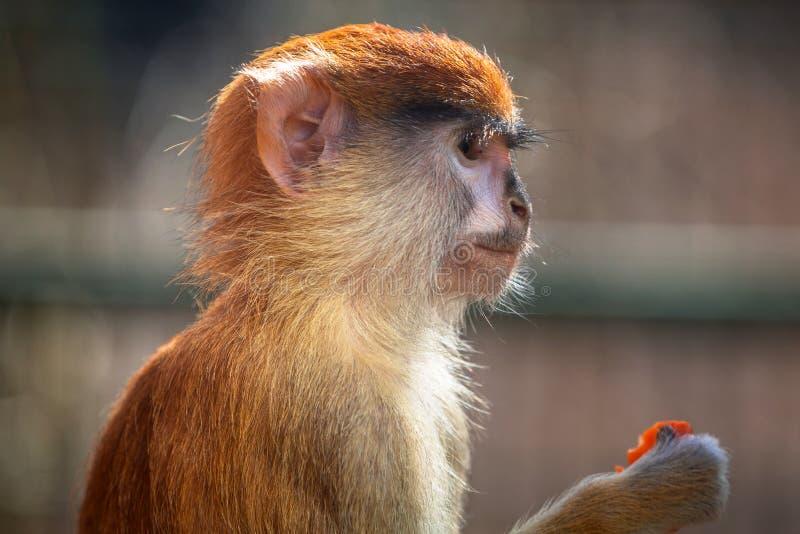 Portrait de singe de Patas photographie stock libre de droits