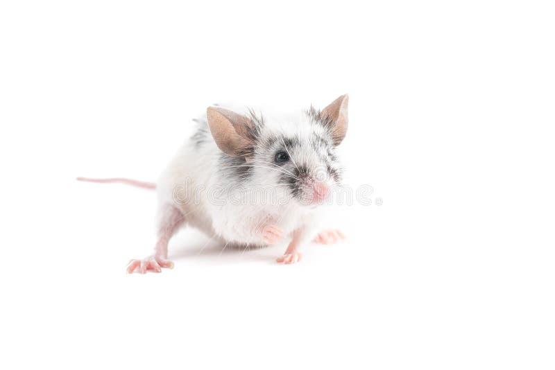 Portrait de souris décorative mignonne, sur le fond clair photographie stock