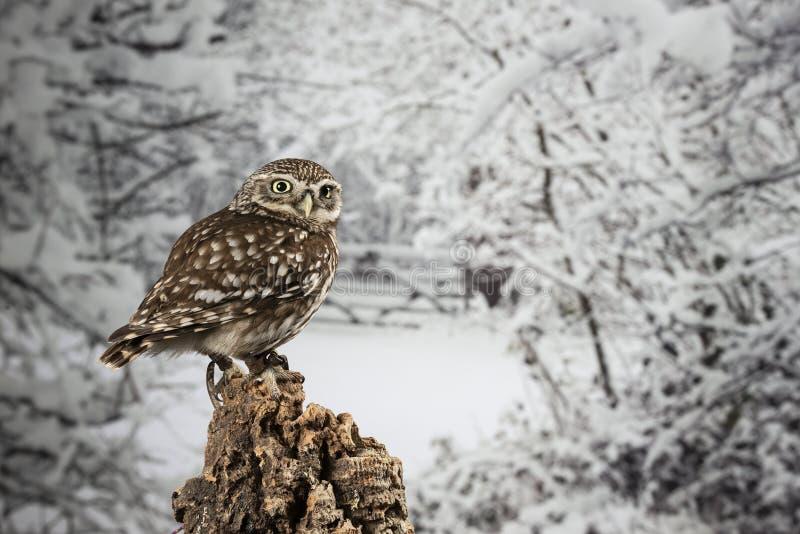 Portrait de stup?faction de peu d'Owl Athena Noctua dans l'arrangement de studio avec le fond de nature d'hiver images libres de droits