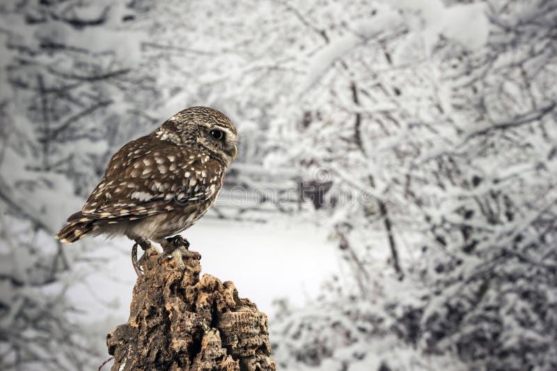 Portrait de stup?faction de peu d'Owl Athena Noctua dans l'arrangement de studio avec le fond de nature d'hiver photo libre de droits
