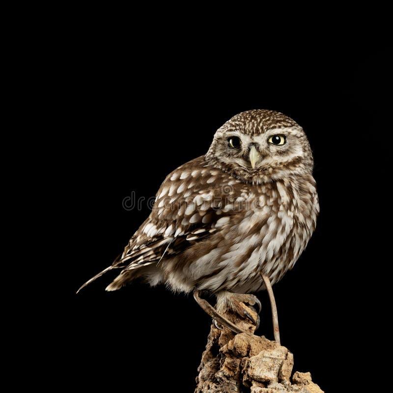 Portrait de stup?faction de peu d'Owl Athena Noctua dans l'arrangement de studio avec le fond noir et l'?clairage dramatique photo libre de droits