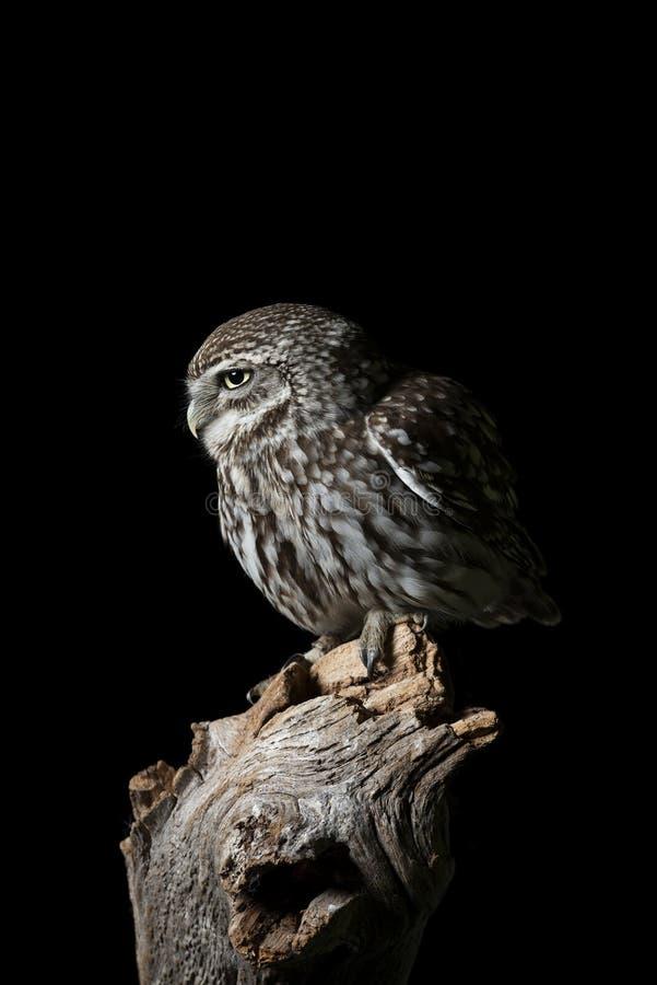 Portrait de stup?faction de peu d'Owl Athena Noctua dans l'arrangement de studio avec le fond noir et l'?clairage dramatique photographie stock libre de droits