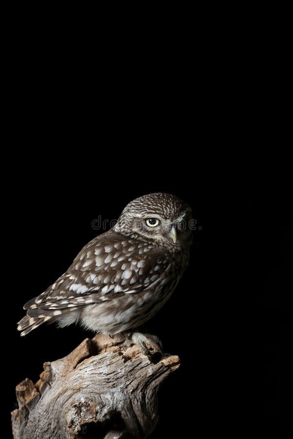 Portrait de stup?faction de peu d'Owl Athena Noctua dans l'arrangement de studio avec le fond noir et l'?clairage dramatique photos libres de droits