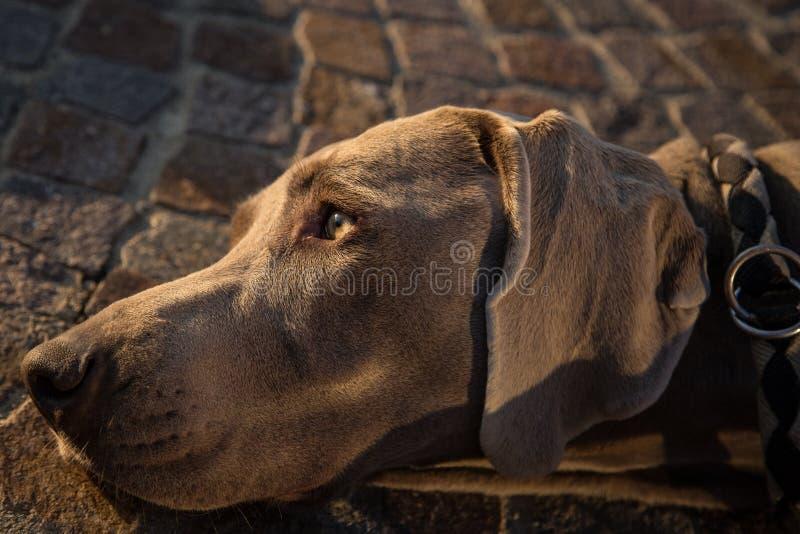 Portrait de tête de chien de weimaraner photos libres de droits