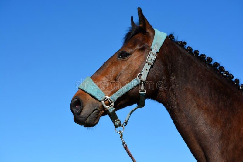 Portrait de tête de profil de cheval image libre de droits