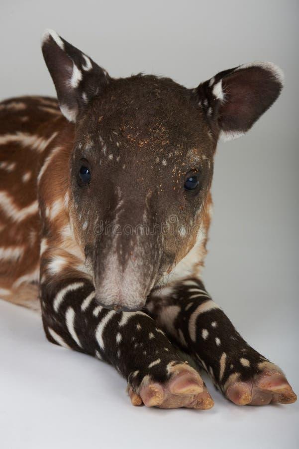 Portrait de tapir de bébé image stock