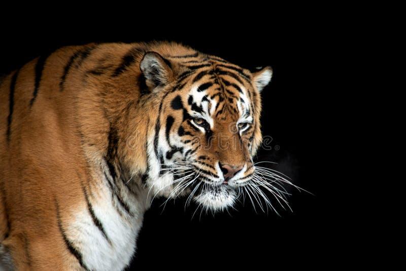 Portrait de tigre sur le fond noir images libres de droits