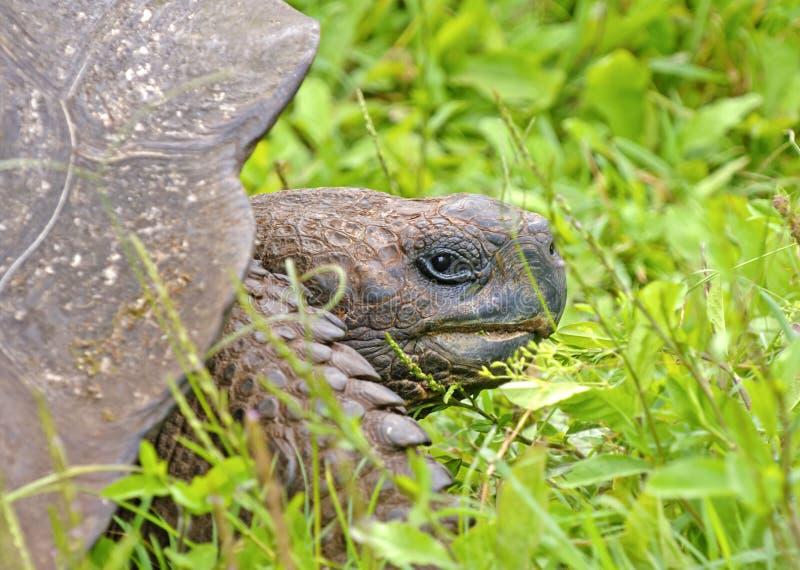 Portrait de tortue de Galapagos, îles de Galapagos, Equateur image libre de droits