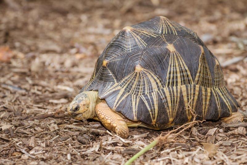 Portrait de tortue rayonnée image libre de droits
