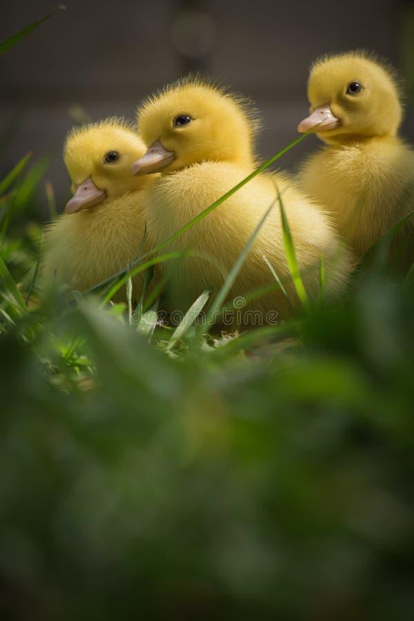 Portrait de trois canetons pelucheux jaunes mignons dans des gras de vert de printemps image stock