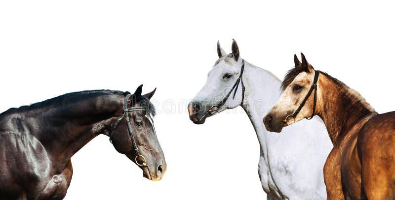 Portrait de trois costumes différents de cheval d'isolement sur le fond blanc image libre de droits