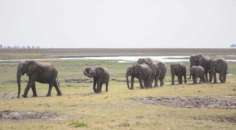 Portrait de troupeau gratuit sauvage d'éléphant images libres de droits