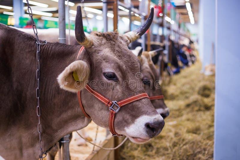 Portrait de vache à l'exposition animale agricole photographie stock