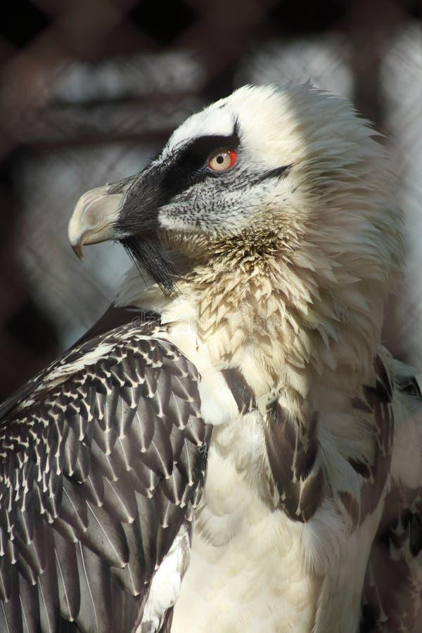 Portrait de vautour barbu image libre de droits