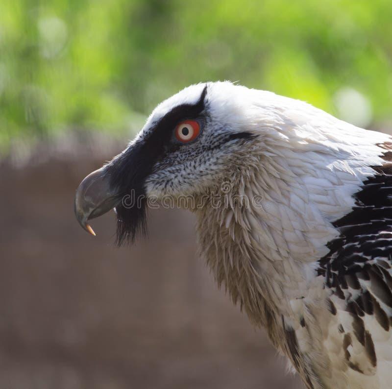 Portrait de vautour barbu dans le zoo photos libres de droits