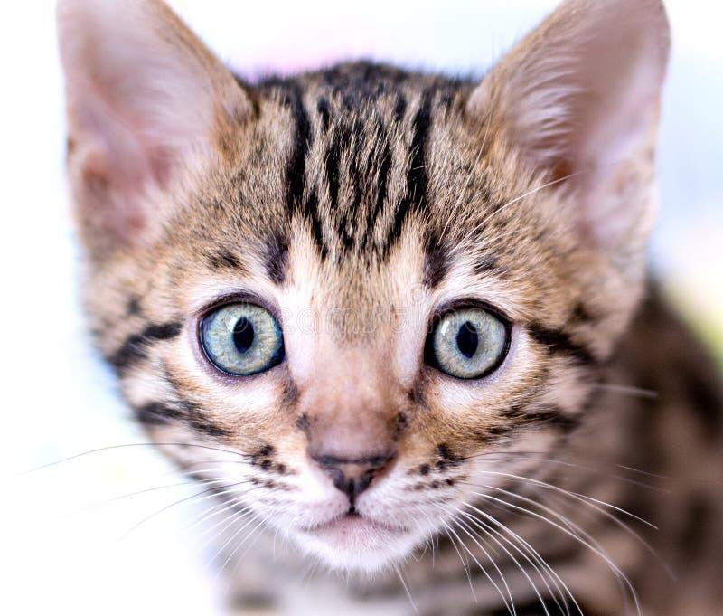 Portrait de visage de chaton photographie stock