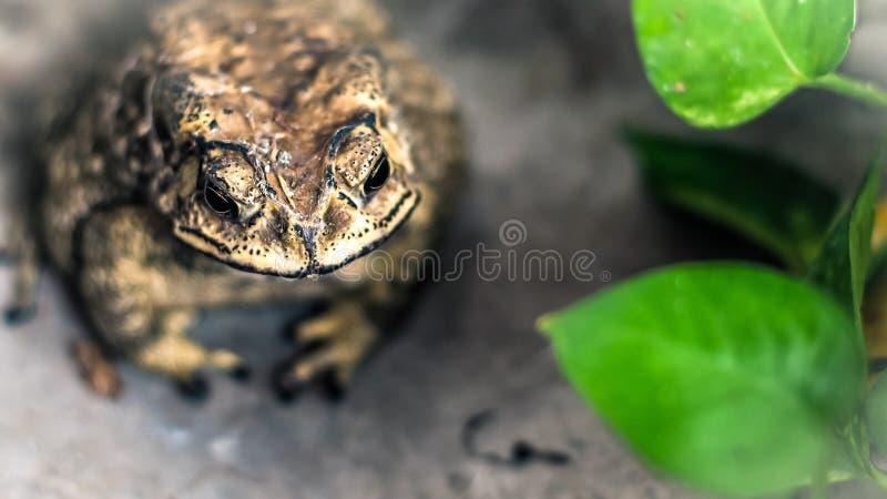 Portrait de visage de crapaud de grand amphibie dans l'habitat de nature photo stock
