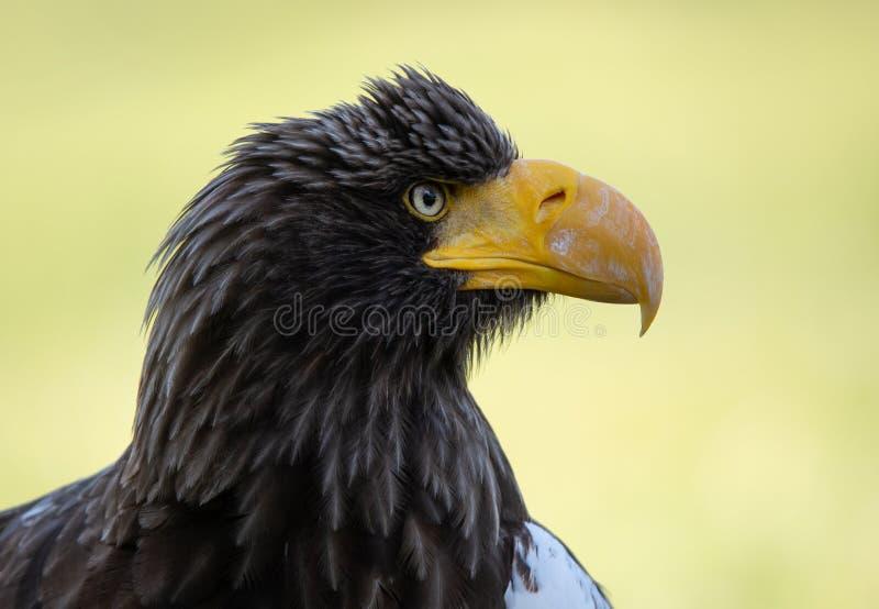 Portrait de visage latéral d'aigle de mer de Steller's photographie stock libre de droits