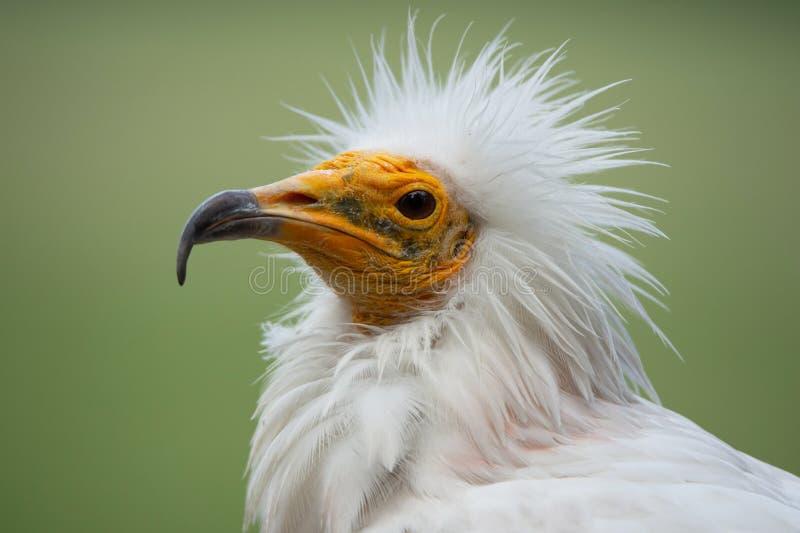 Portrait de visage latéral d'un vautour égyptien avec les hairdress drôles image libre de droits