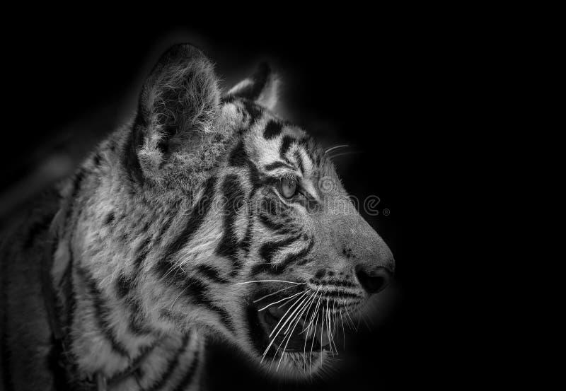 Portrait de visage latéral de tigre image stock