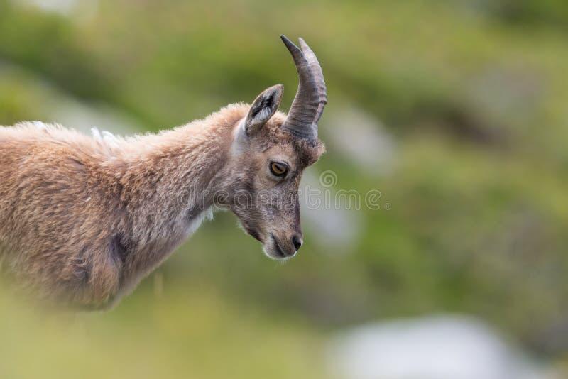 Portrait de vue de côté de jeune Capricorne alpin naturel de bouquetin images stock