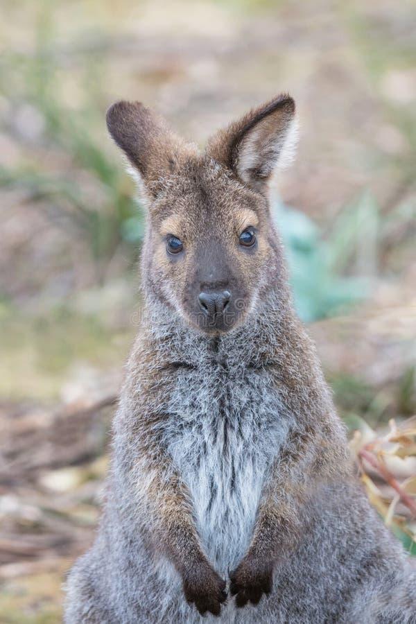 Portrait de Wallaby à cou rouge photo stock