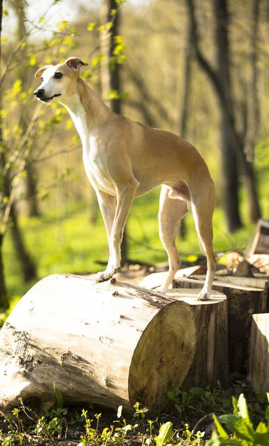 Portrait de whippet de chien image libre de droits