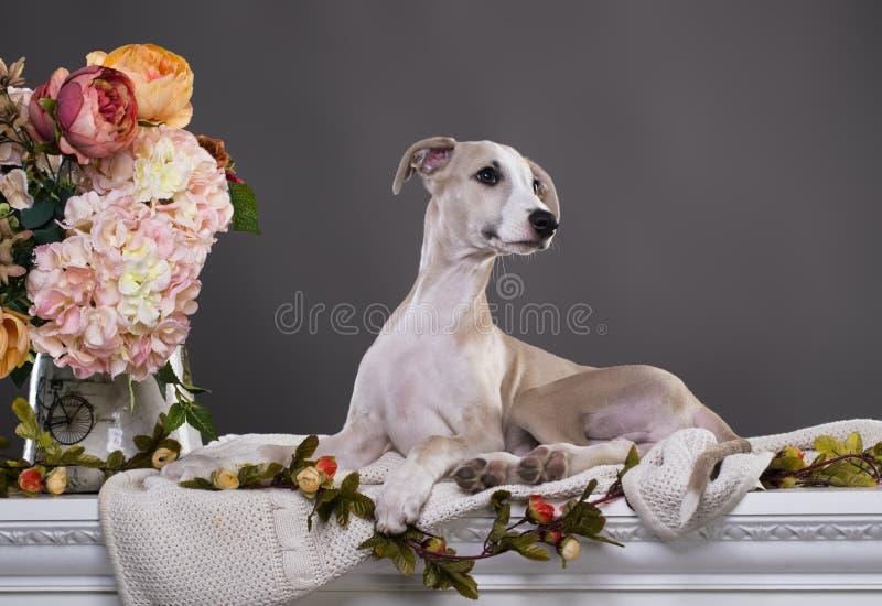 Portrait de whippet de chiot, image stock