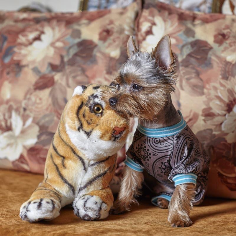 Portrait de Yorkshire Terrier habillé sur le divan Vue de face du chien dans un costume mignon image libre de droits