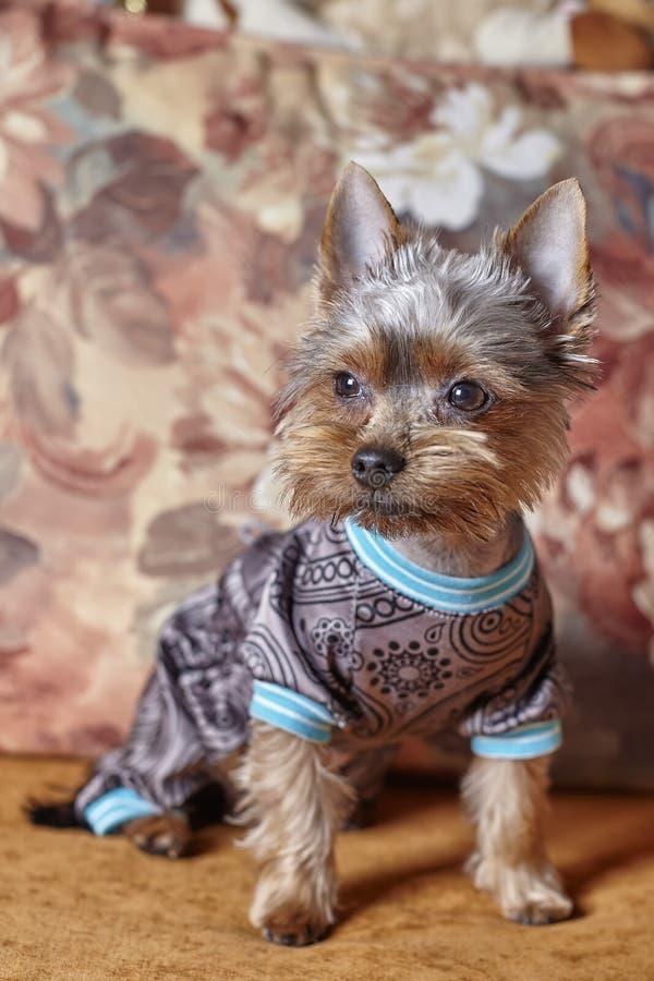 Portrait de Yorkshire Terrier habillé sur le divan Vue de face du chien dans un costume mignon photographie stock libre de droits