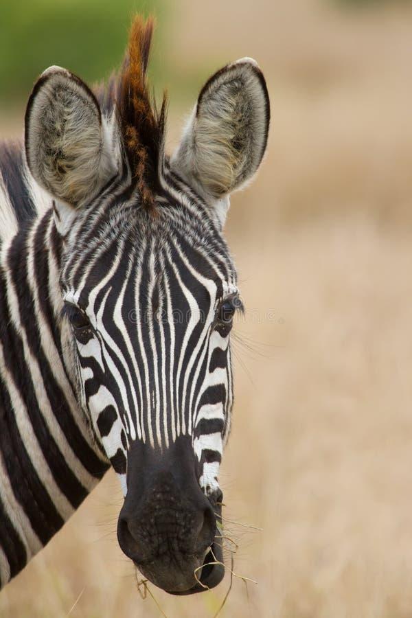 Portrait de zèbre dans la lumière molle de beau détail de nature image stock