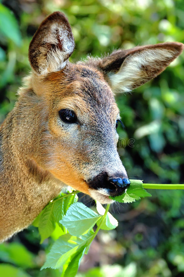 Download Portrait Deer Royalty Free Stock Photography - Image: 22380027