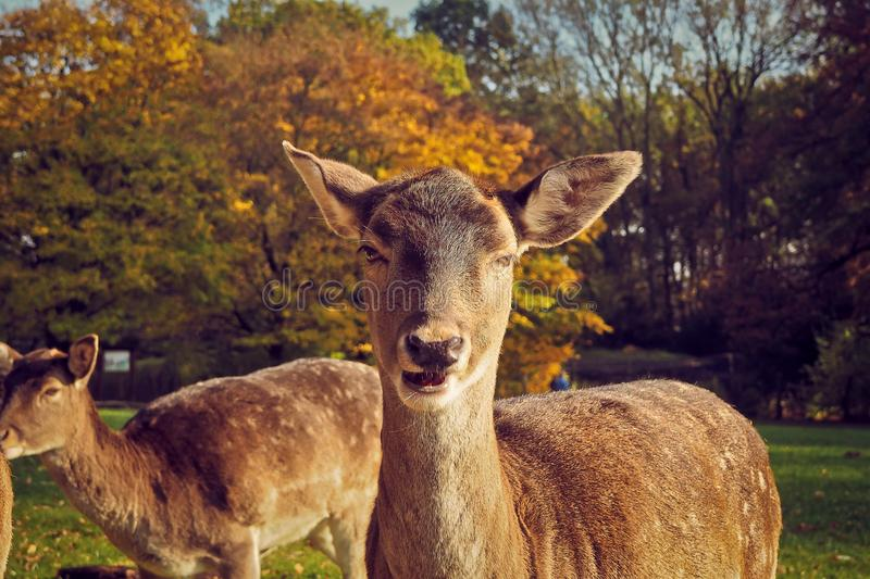 Portrait of Deer on Field stock photography