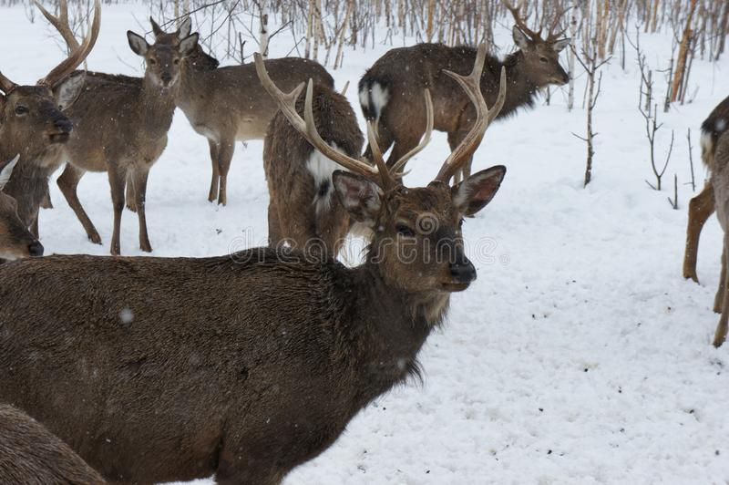 Portrait of a deer with horns in the winter on a livestock farm. royalty free stock image